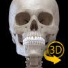 Skeleton | 3D Anatomy